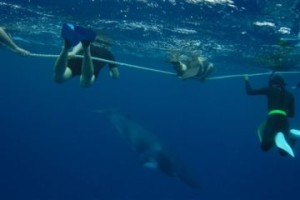 Snorkel with Minke Whales Cairns