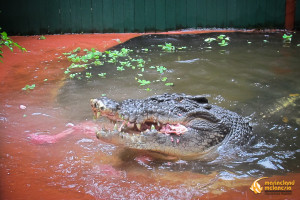 Meet Cassius On Green Island, the oldest and largest captive crocodile in the world
