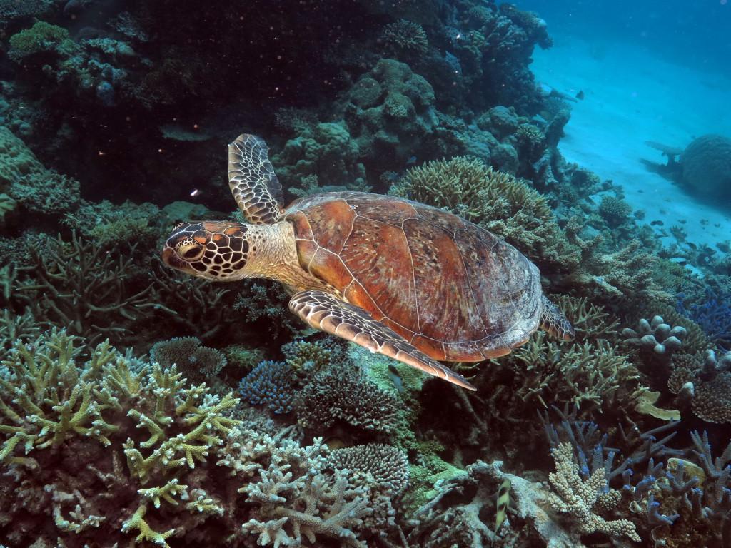 Sea Turtle On Ocean Spirit Great Barrier Reef Day Trip
