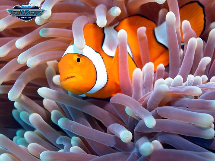 Clown Fish - Finding Nemo