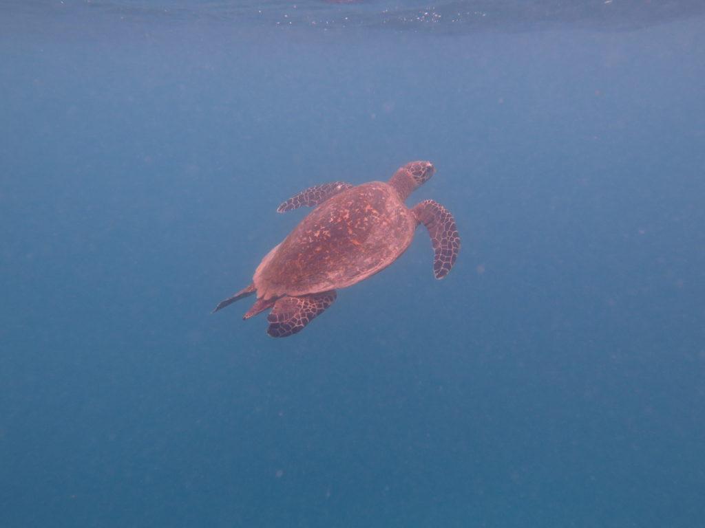 Great Barrier Reef Sea Turtle