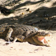 1 Day Tour From Port Douglas | Daintree River Cruise | Crocodile Spotting