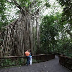 500 year old Curtain Fig Tree | Cairns and Atherton Tablelands Tour Cairns