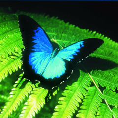 Admire The Ulysses Butterfly At The Butterfly Sanctuary