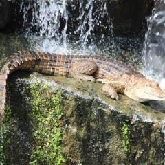 Amazing Crocodile Display | Rainforestation Nature Park In Tropical North Queensland