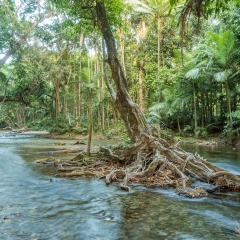 Ancient Cathedral Tree on Mossman River