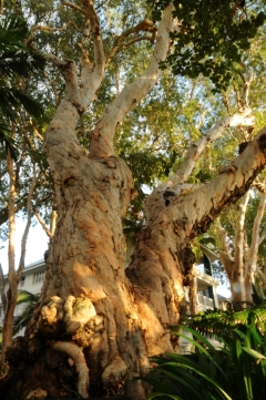 Ancient Melaleuca trees line the esplanade in Palm Cove