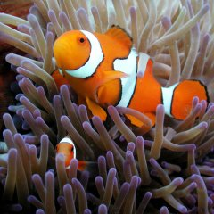 And everyone's favourite Nemo is also on the Great Barrier Reef in Australia