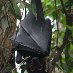Australian Fruit Bat | 15 Day Cape York Camping Safari In The Australian Outback