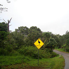 Be careful of Cassowarries crossing the roads in Tropical North Queensland