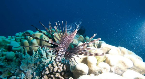 Lionfish Great Barrier Reef Australia