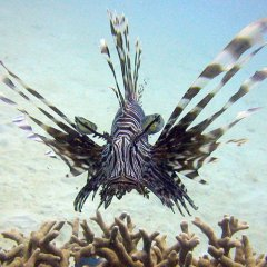 Be careful of this beautiful Lion fish