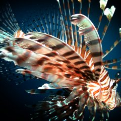 Some Fish Species Can Be Harmful | Lion Fish On The Great Barrier Reef Australia