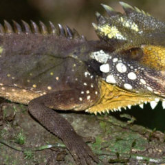 Bearded Dragon | Discover The World Heritage Australian Rainforest | 1 Day Tour From Cairns