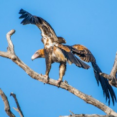 Cairns Birding Tours - Bird Of Prey - North Queensland Private Bird Watching