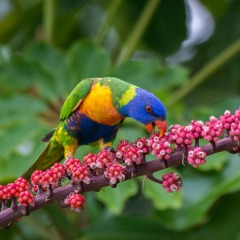 Cairn Bird Watching Tour North Queensland Tour | Lorikeets