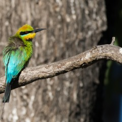 Cairns Bird Watching Tour Tropical North Queensland | Bee Eater