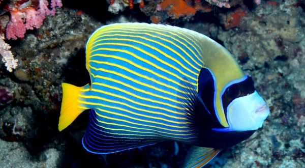Blue Butterfly Fish | Overnight Great Barrier Reef Trip
