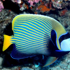 Blue Butterfly Fish | Great Barrier Reef Trip | Australia