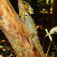 Boyds Dragon Lizard Found In The Daintree Rainforest Region | Personalised Full Day Tour For Small Groups