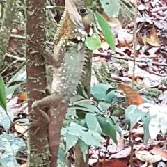 Boyds Forest Dragon at Mossman Gorge