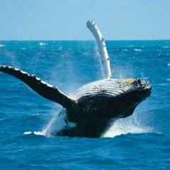 Whale watching tours Cairns - Breaching Humpback Whale