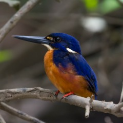 Brilliant birds in the Daintree Rainforest