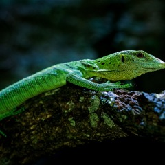 Cairns Aquarium | Emerald Tree Monitor Photo by David Clode