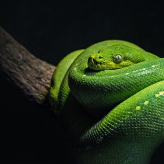 Cairns Aquarium | Green Tree Snake