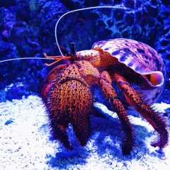 Cairns Aquarium | Hermit Crab