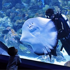 Cairns Aquarium | Large Ray with Diver in Tank