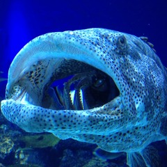 Cairns Aquarium | Malabar Grouper