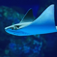 See Eagle Rays in the Cairns Aquarium
