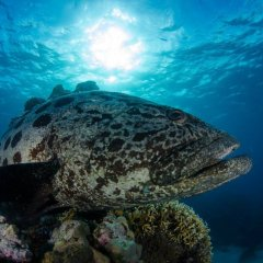 Cairns Best Scuba Liveaboard | Giant Potato Cod