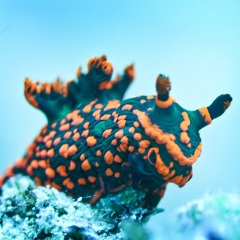 Cairns Dive Boats - Nudibranch