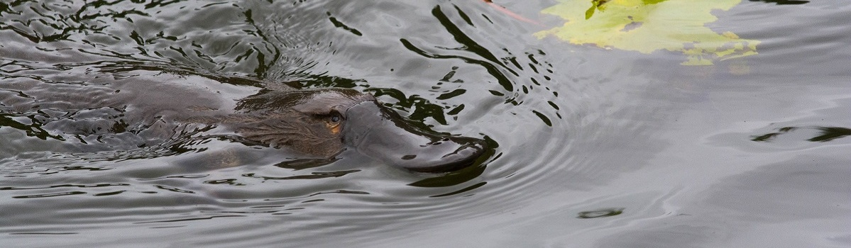 Cairns Hiking Tours - See Platypus in Cairns