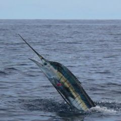 Cairns private charter boat perfect for Marlin fishing