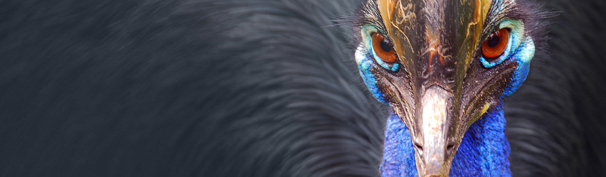Cassowaries of Mission Beach
