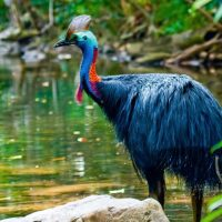 Cassowary in the Daintree Rainforest