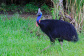 Daintree Rainforest Tours - Cassowary Daintree Rainforest