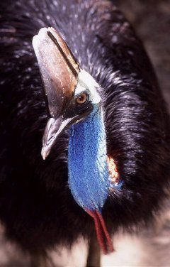 Cassowary of Mission Beach close up