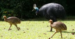 Cassowary with Baby Chicks
