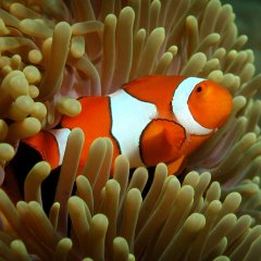 Great Barrier Reef VIP Trip | Clown Fish On The Great Barrier Reef in Australia