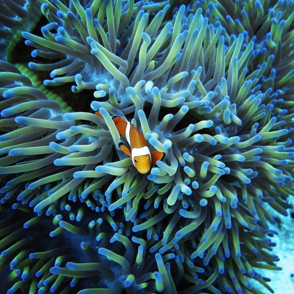 Colourful Reef Scene Captured Photographed With Underwater Camera Hire Cairns Clown Fish Hiding