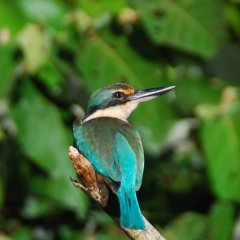 Over 430 Bird Species Inhabit The Daintree Rainforest Region | Daintree Kingfisher | Small Group Full Day Tour