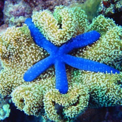Colourful starfish on Australia's Great Barrier Reef