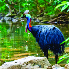 Cooper Creek Cassowary