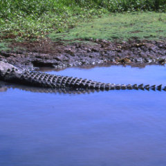 crocodile in Tropical North Queensland