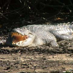 Crocodile Spotting On Daintree River Cruise | 1 Day Tour North Queensland