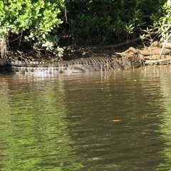 Crocodile Sun Baking On The Bank Of The Daintree River | 1 Day Tour From Port Douglas North Queensland Australia